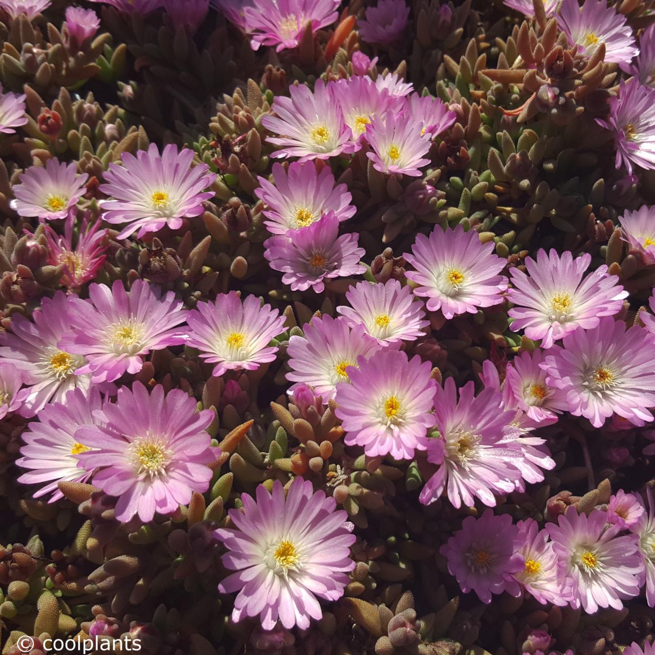Delosperma 'Beaufort West' plant