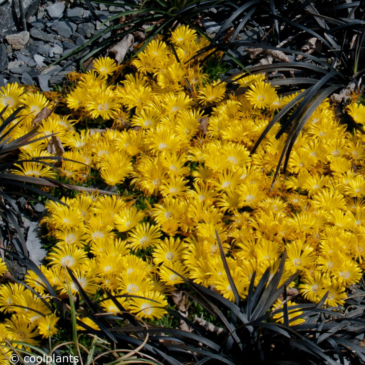Delosperma congestum plant