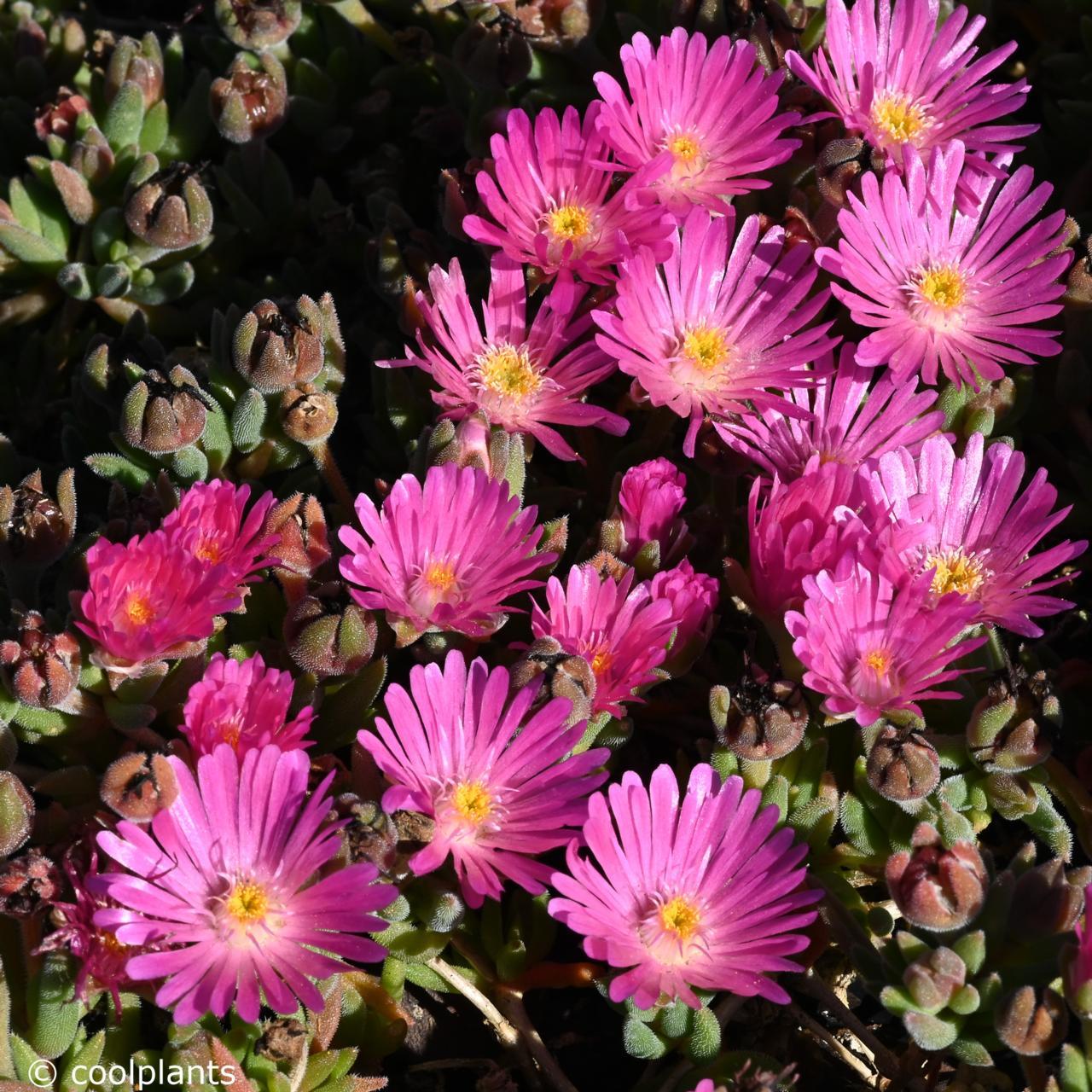 Delosperma 'Jewel of Desert Candystone' plant