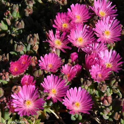 delosperma-jewel-of-desert-amethyst