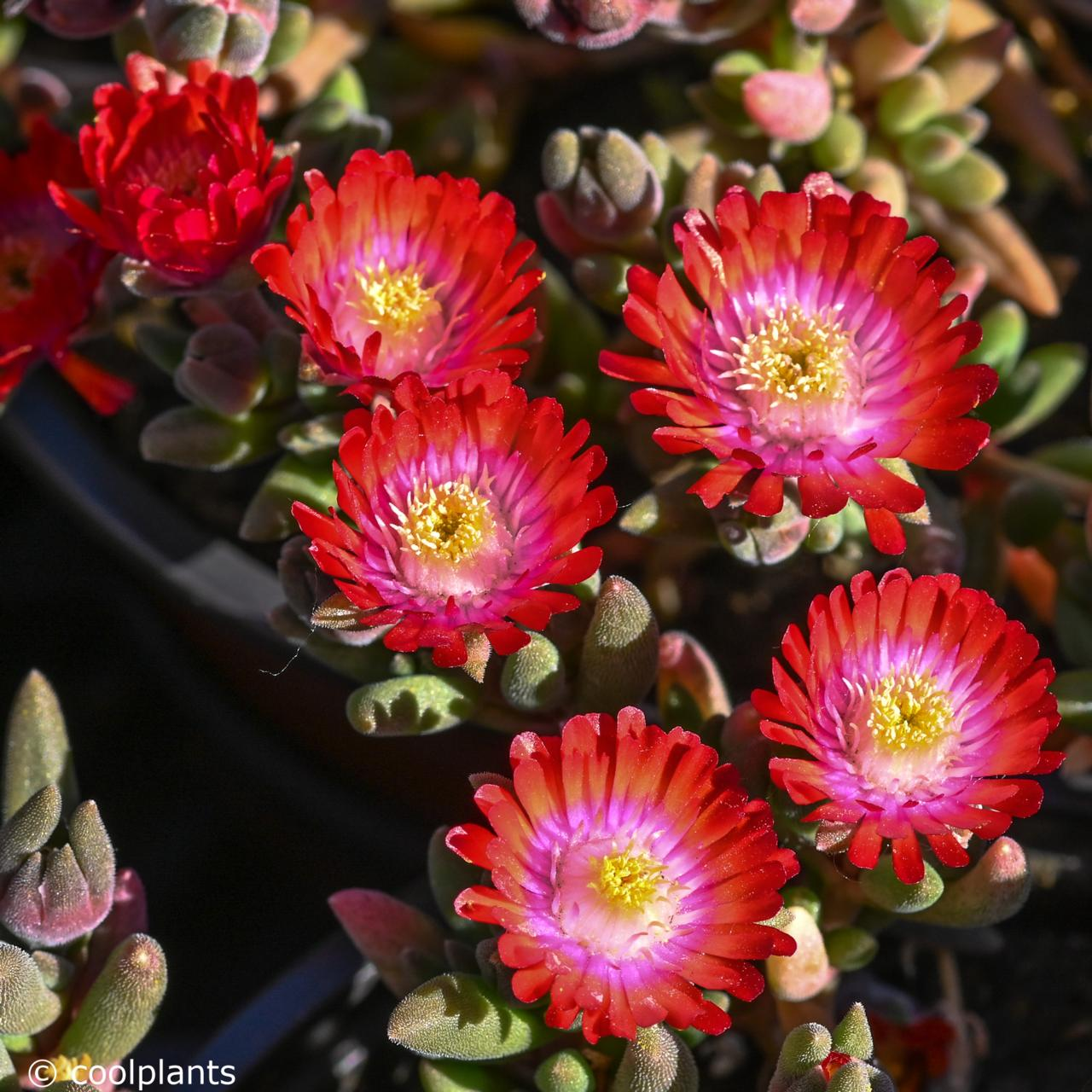 Delosperma 'Jewel of Desert Grenade' plant