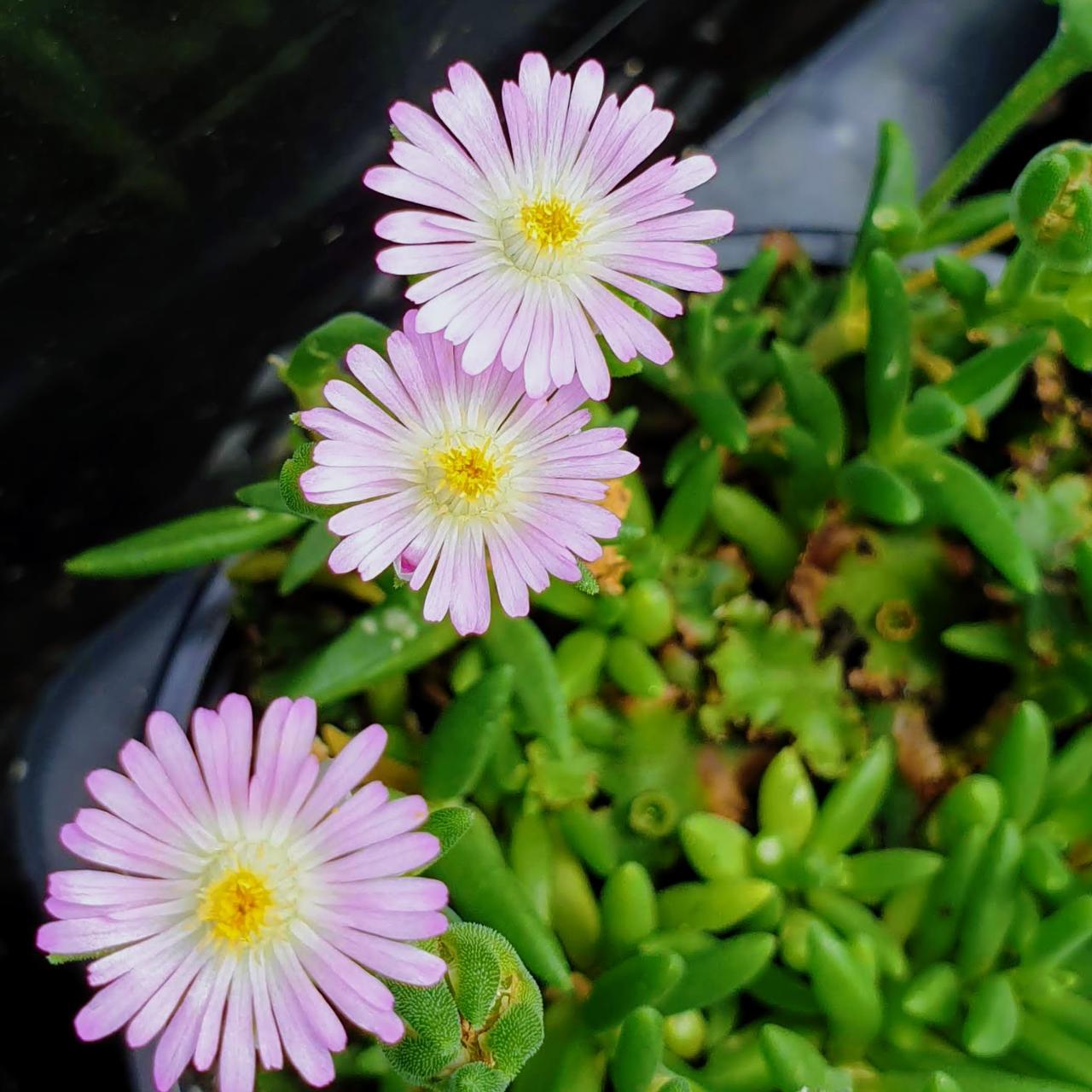 Delosperma 'Jewel of Desert Rosequarts' plant