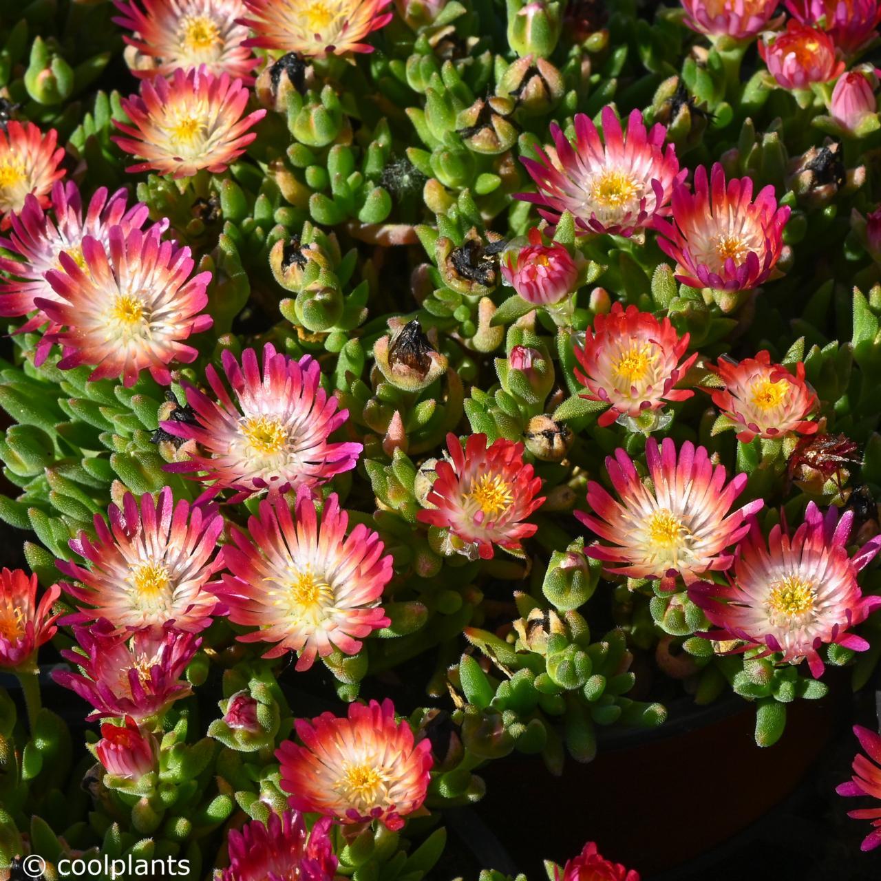 Delosperma 'Jewel of Desert Ruby' plant