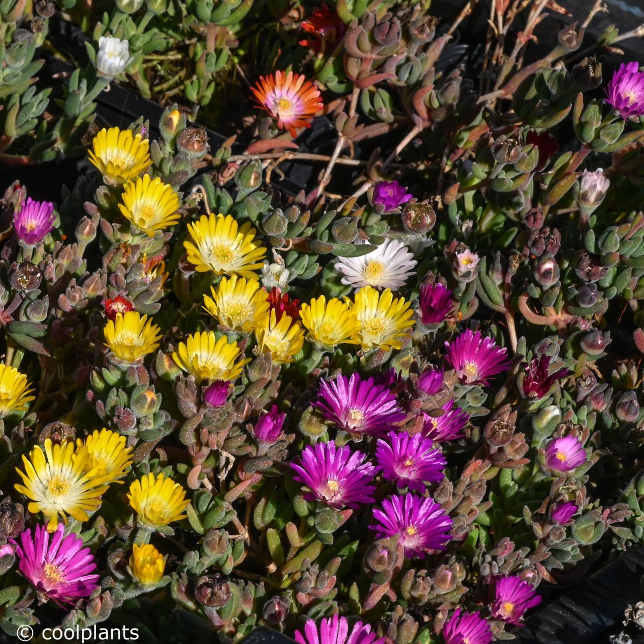 Delosperma 'jewels mix' plant