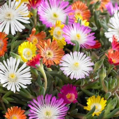 delosperma-jewels-mix