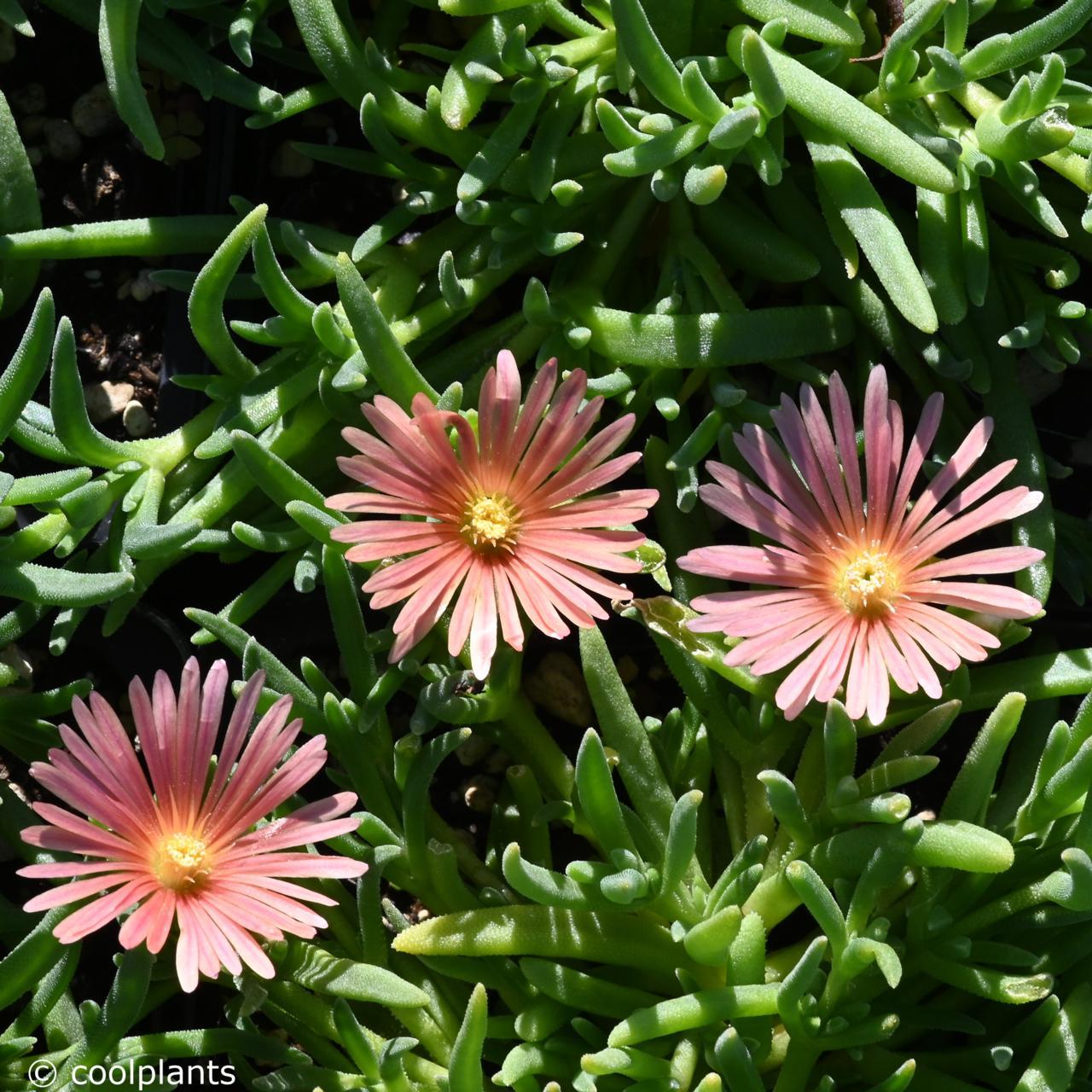 Delosperma kelaidis plant