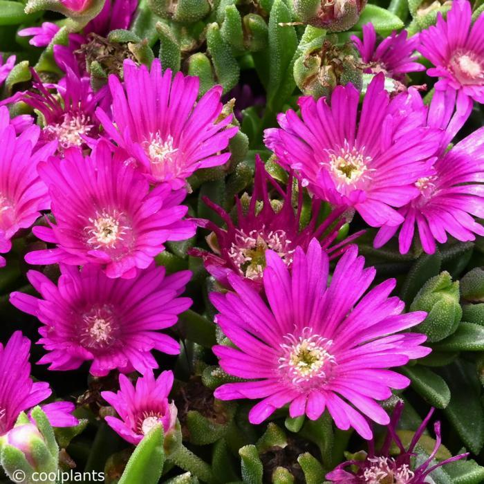 Delosperma lavisiae plant