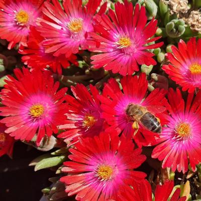 delosperma-lido-orange-pink-eye