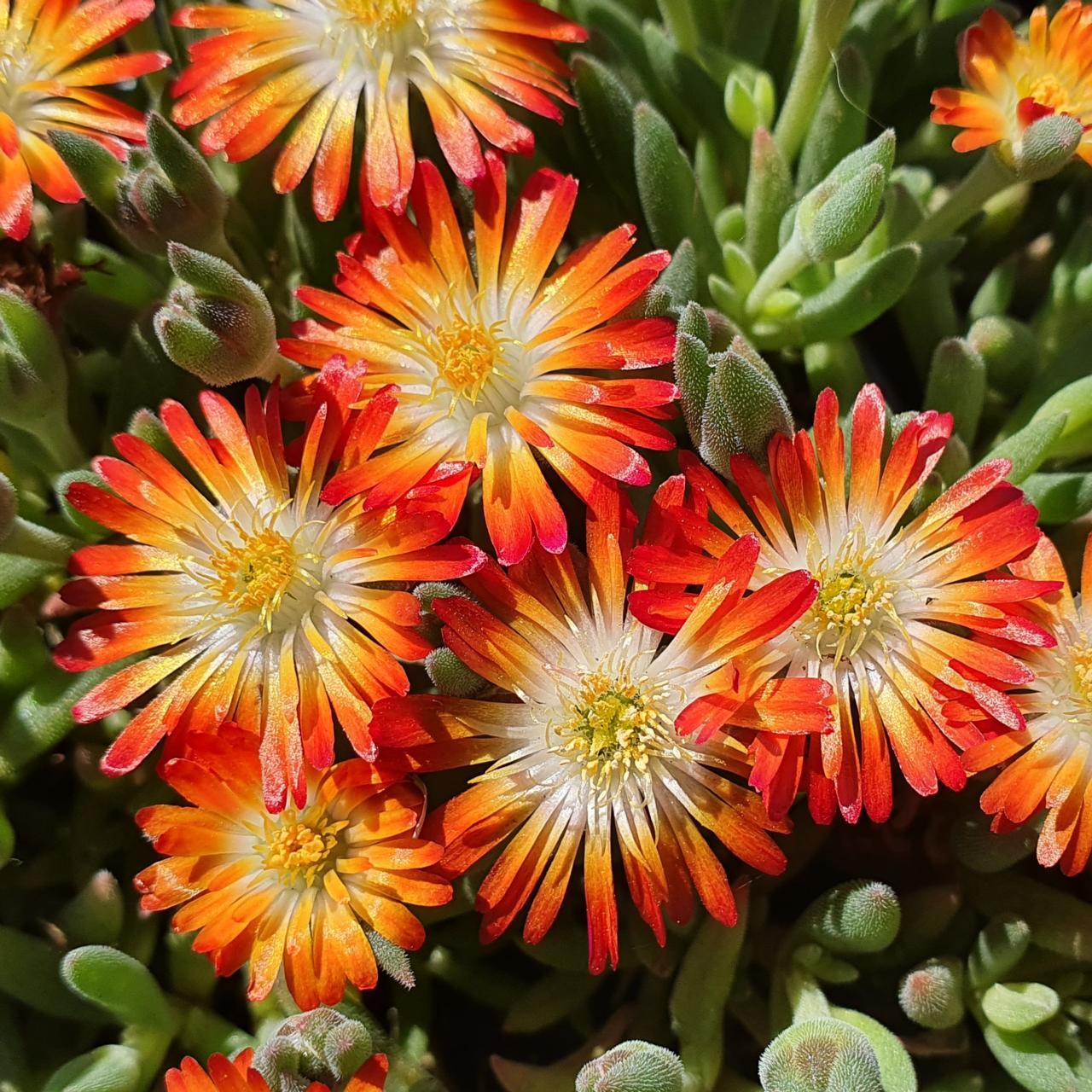 Delosperma 'Lido Orange with Eye' plant