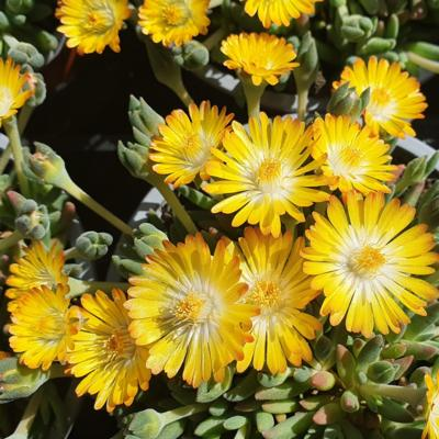 delosperma-lido-yellow-with-eye