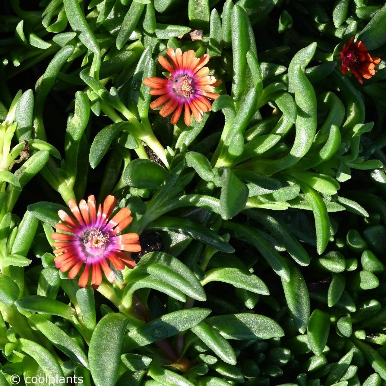 Delosperma 'New Fire' plant
