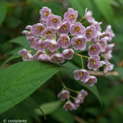 deutzia-compacta-lavender-time