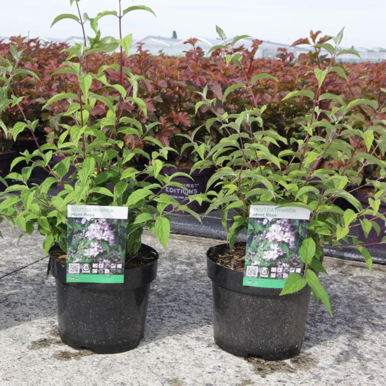 Deutzia hybrida 'Mont Rose' plant