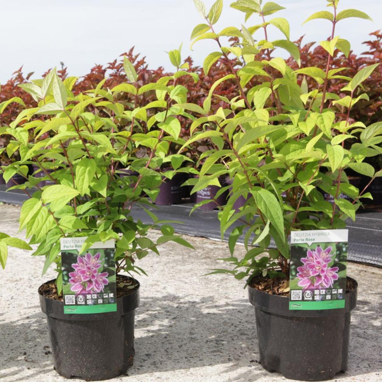 Deutzia hybrida 'Perle Rose' plant