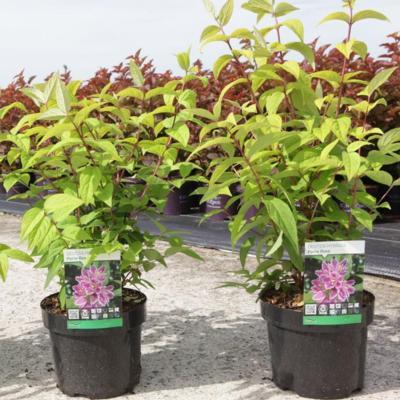 deutzia-hybrida-perle-rose