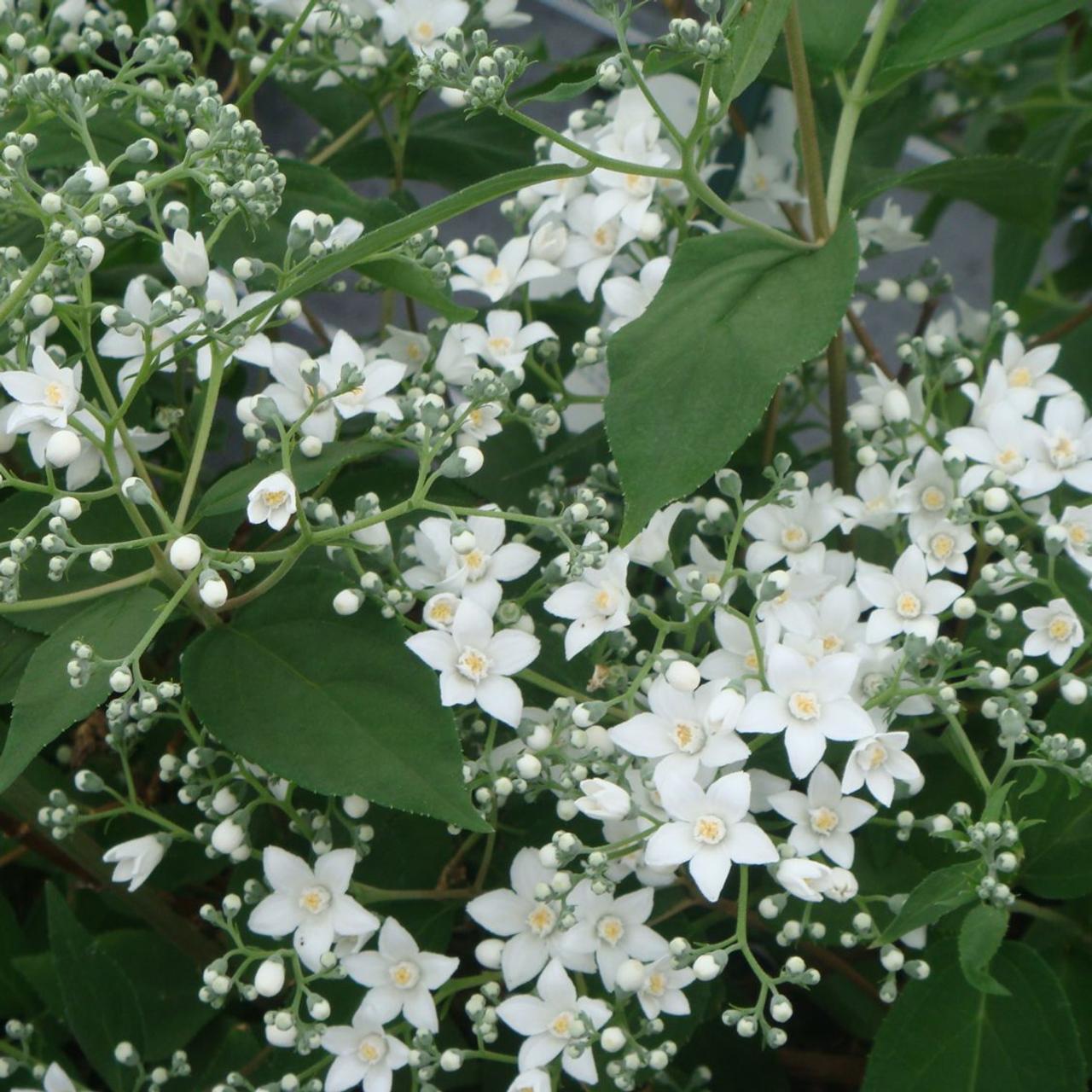 Deutzia setch. corymbiflora plant