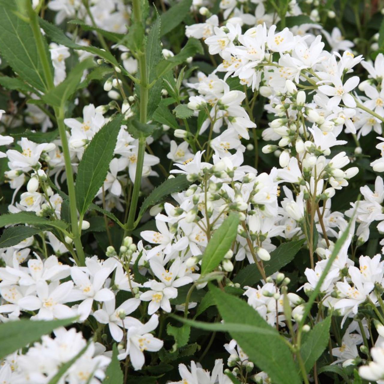 Deutzia 'Yuki Snowflake' plant