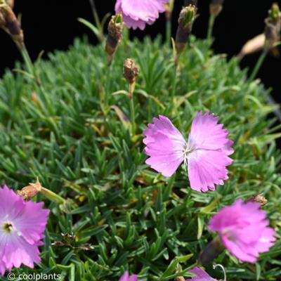 dianthus-myrtinervis