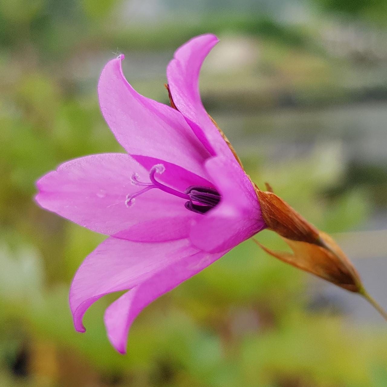 Dierama trichorhizum plant
