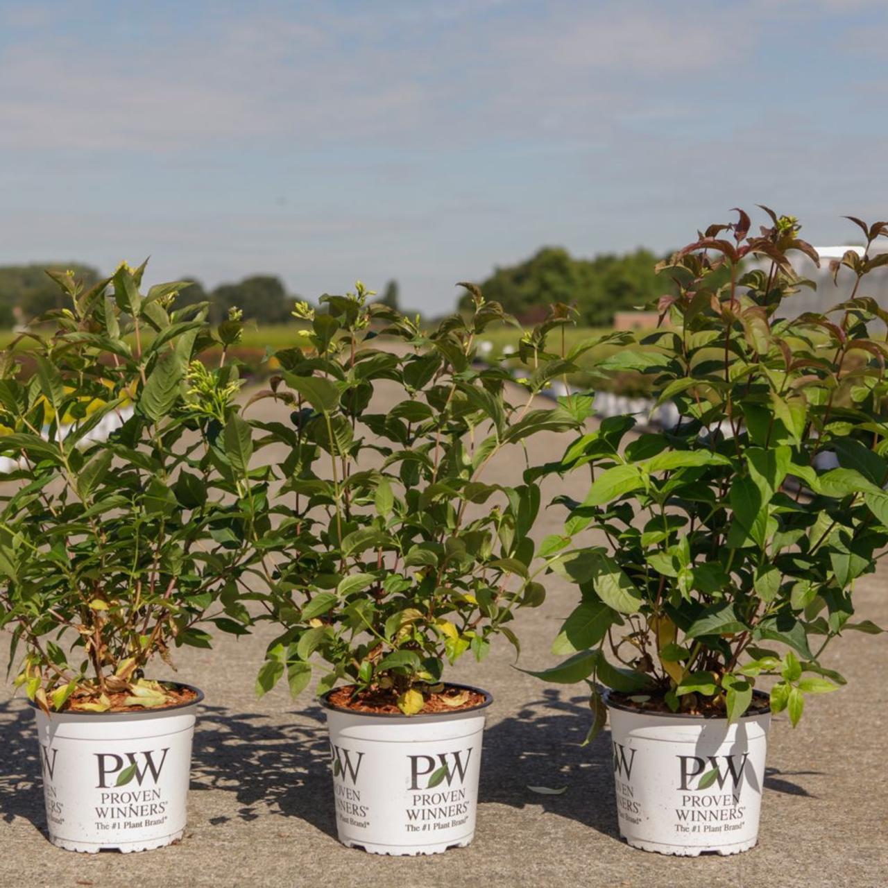 Diervilla 'Kodiak Black' plant