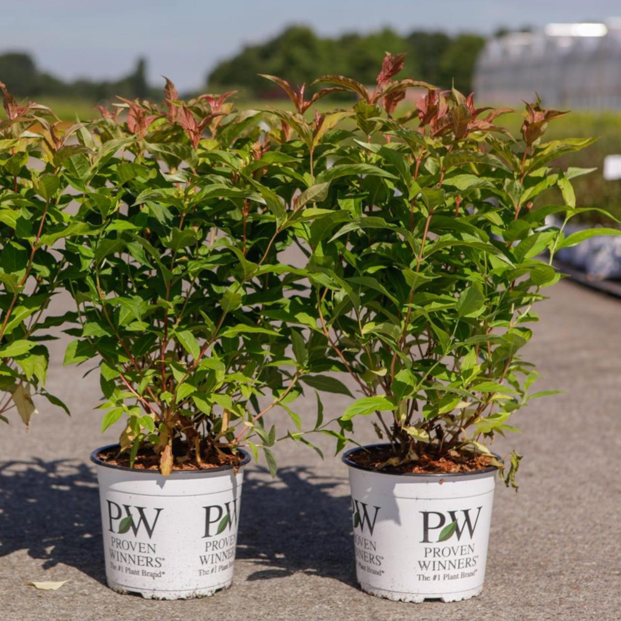 Diervilla 'Kodiak Orange' plant