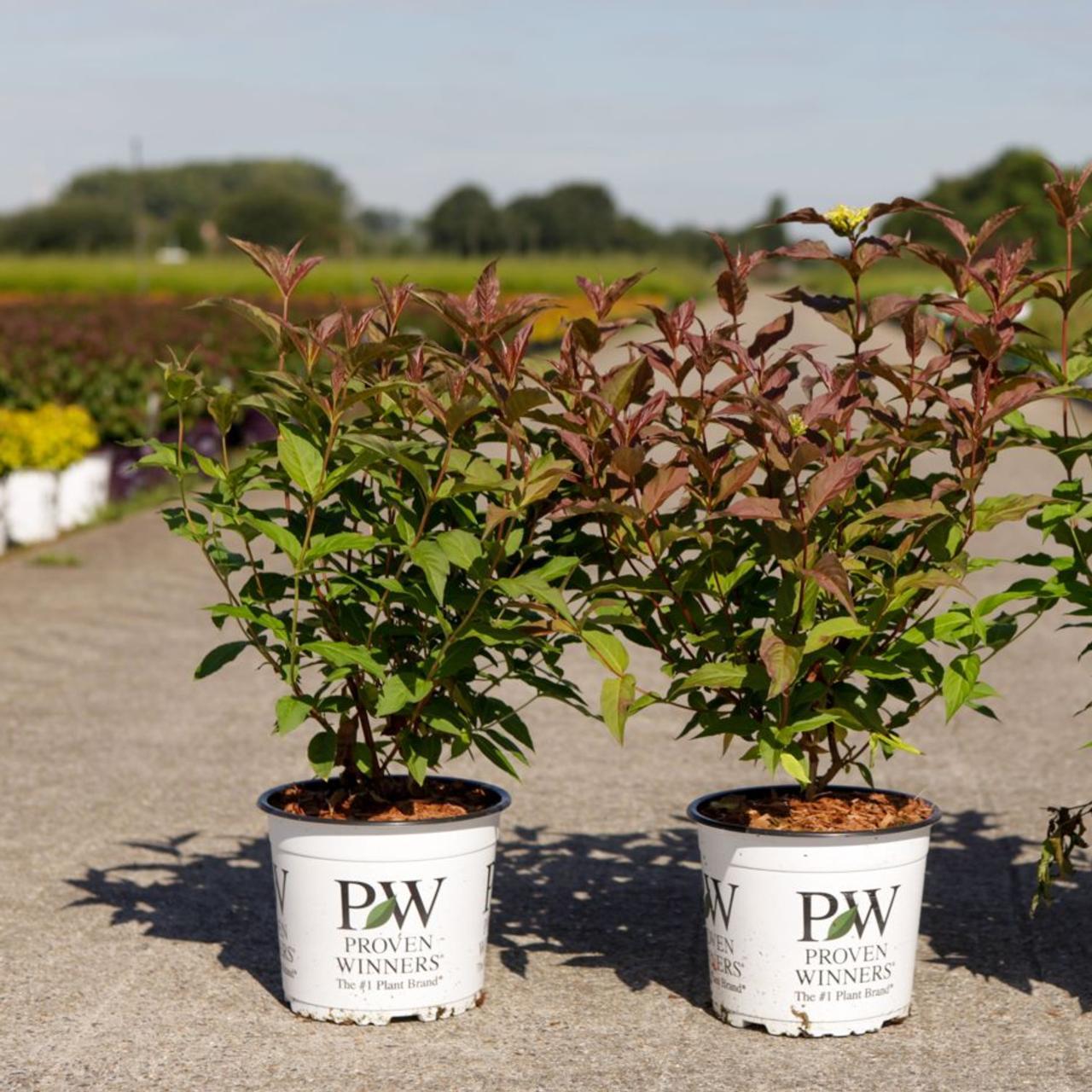 Diervilla 'Kodiak Red' plant
