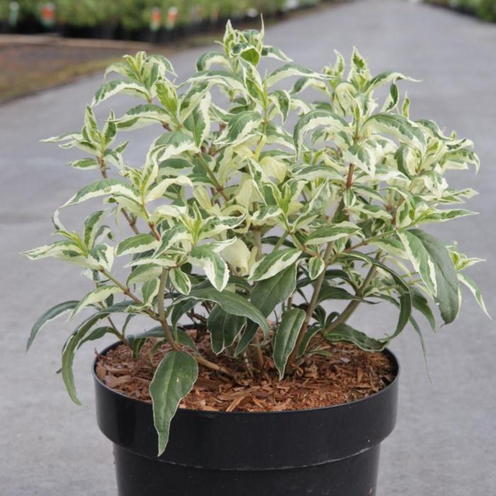 Diervilla sessilifolia 'Cool Splash' plant