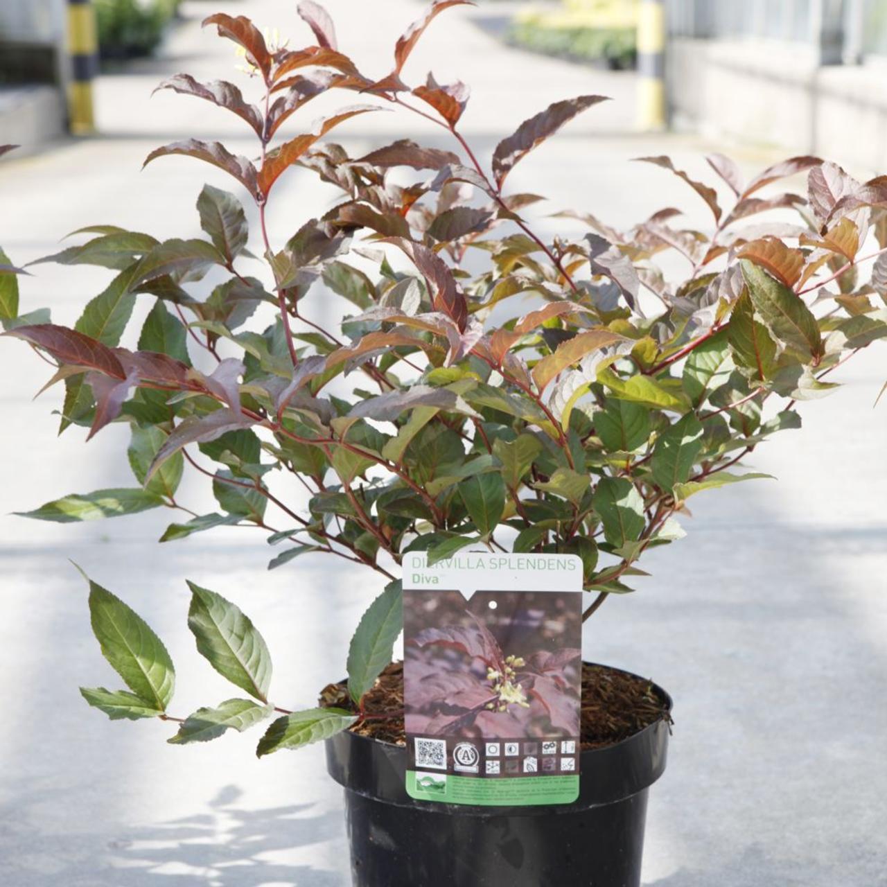 Diervilla splendens 'Diva' plant