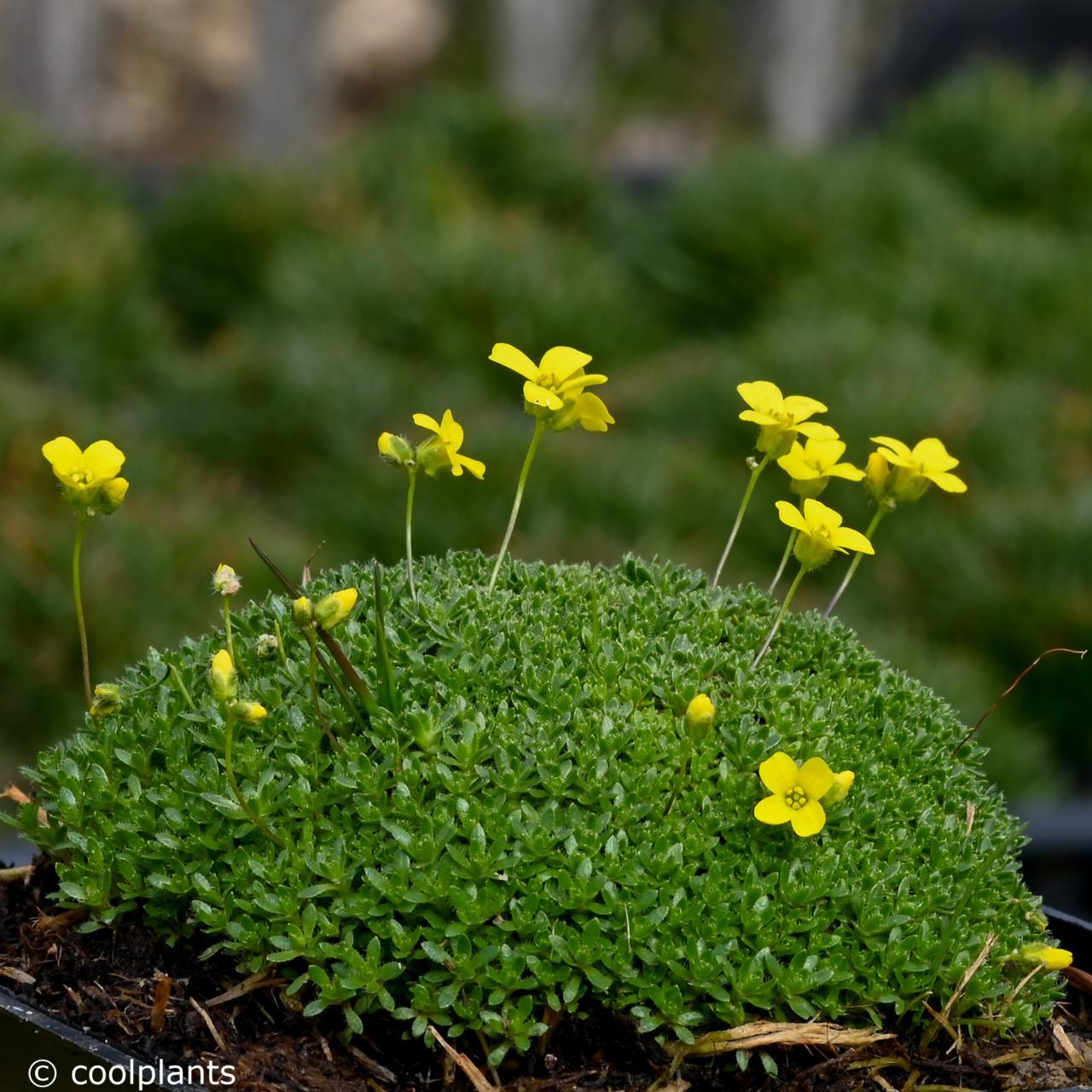 Draba rigida var. imbricata plant