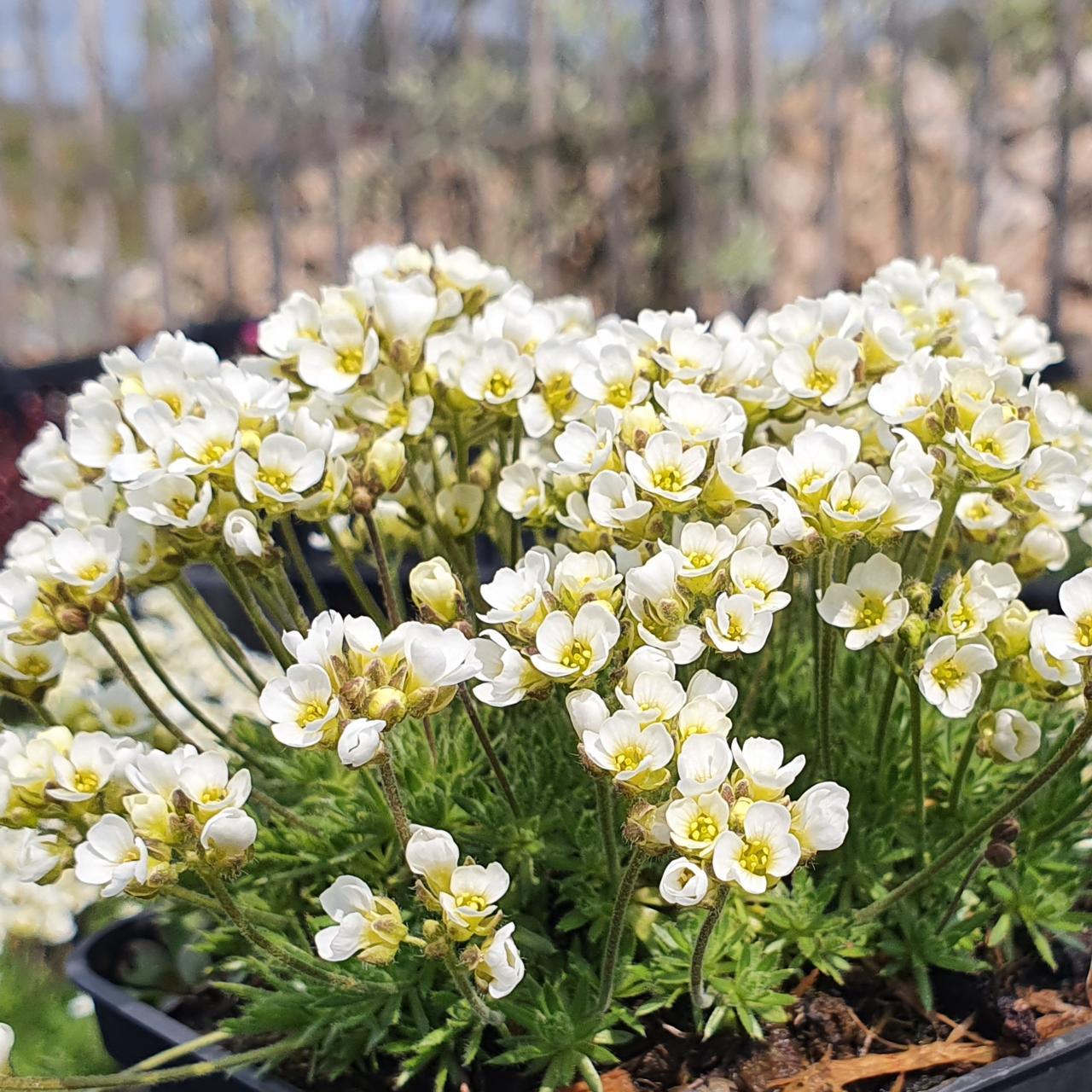 Draba suendermannii plant