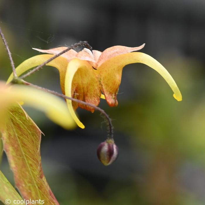 Epimedium 'Amber Queen' plant
