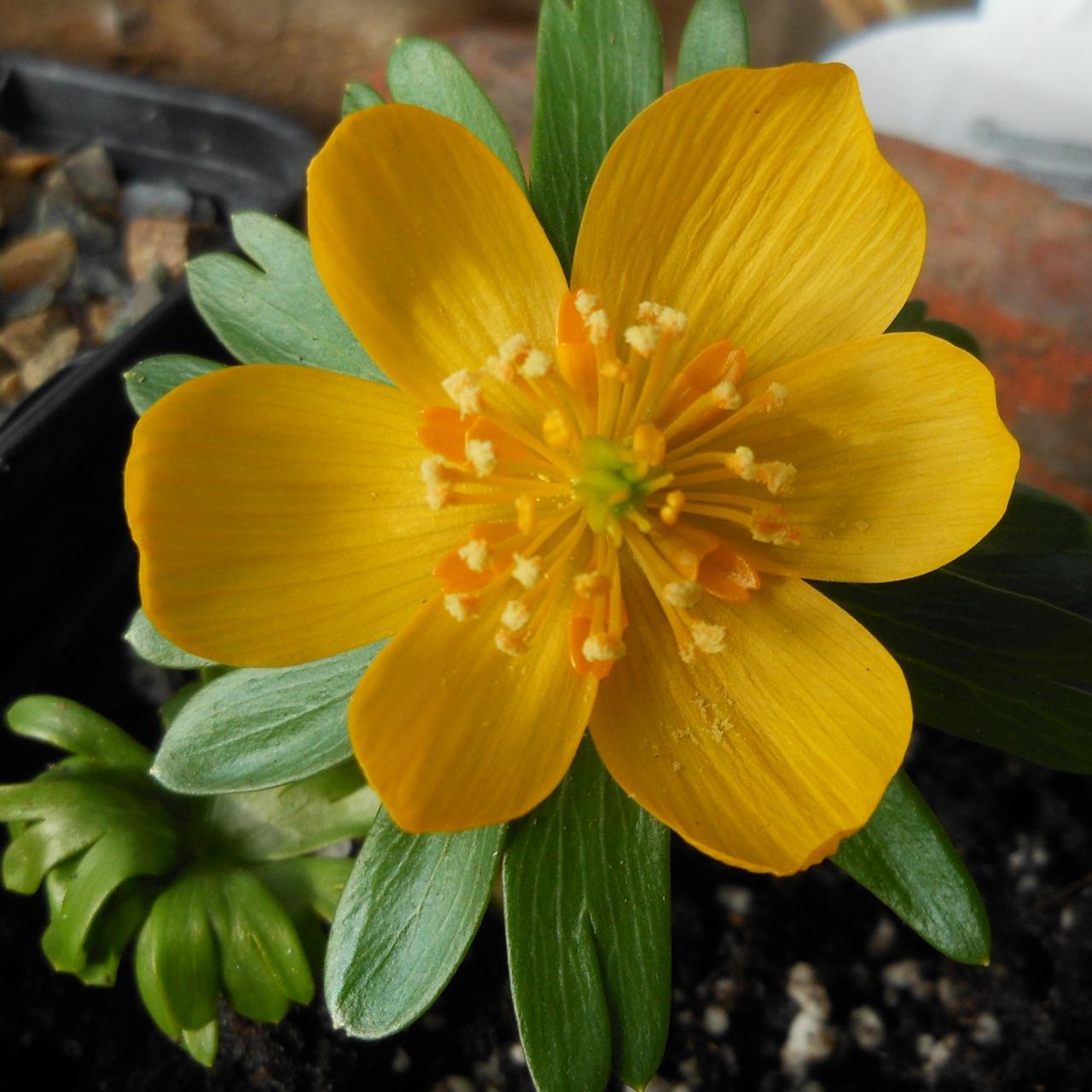 Eranthis hyemalis 'Karen' plant
