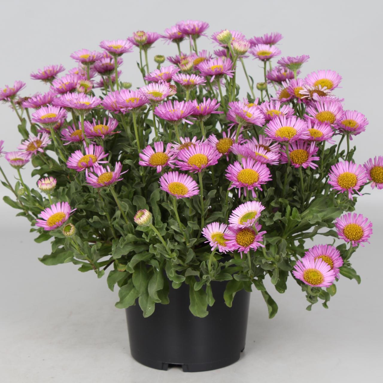Erigeron glaucus 'Sea Breeze' plant