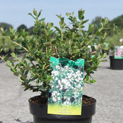 escallonia-apple-blossom