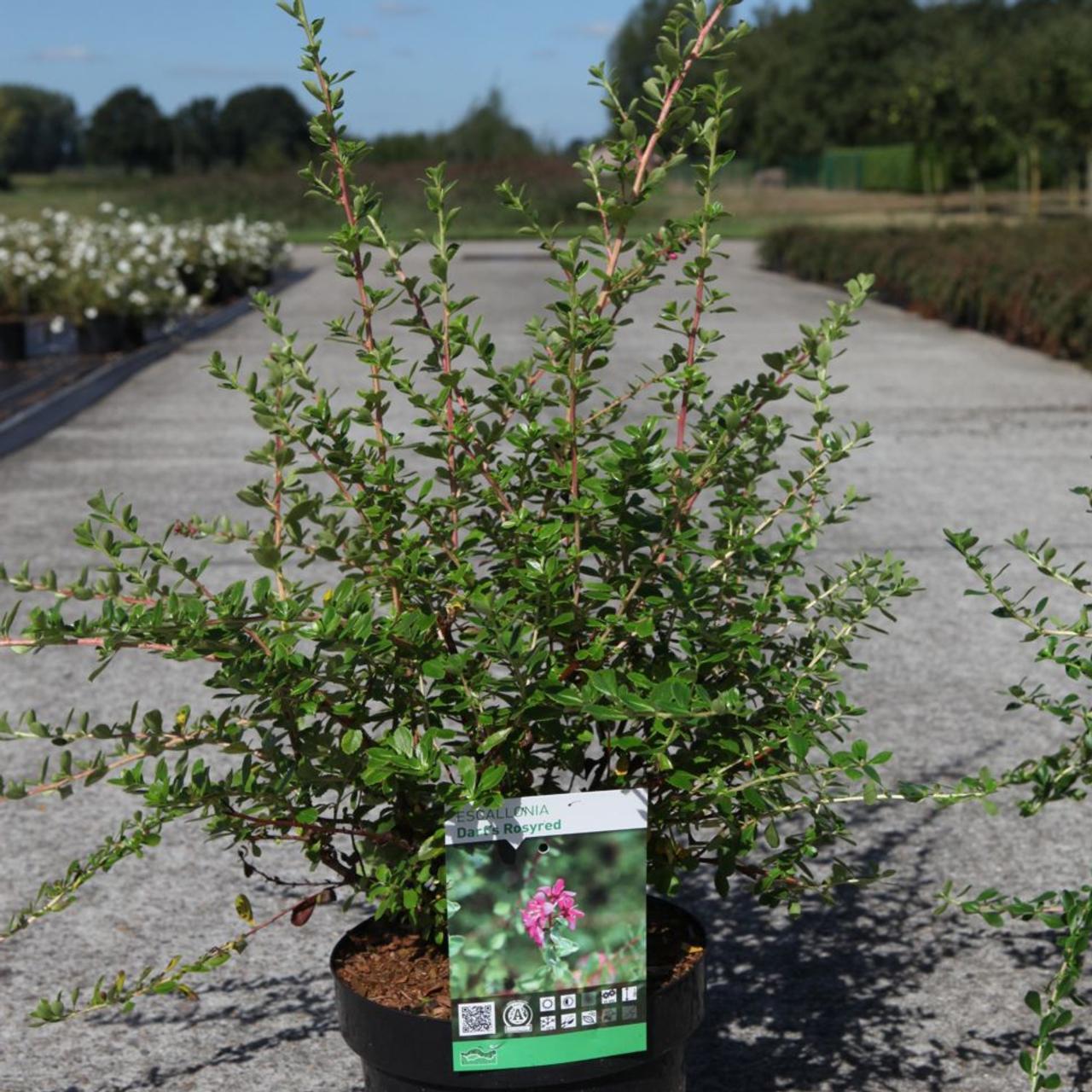 Escallonia 'Dart's Rosyred' plant