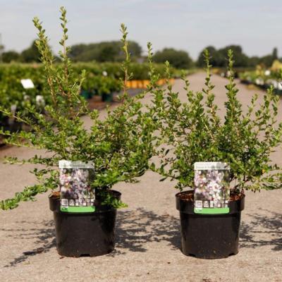 escallonia-donard-seedling