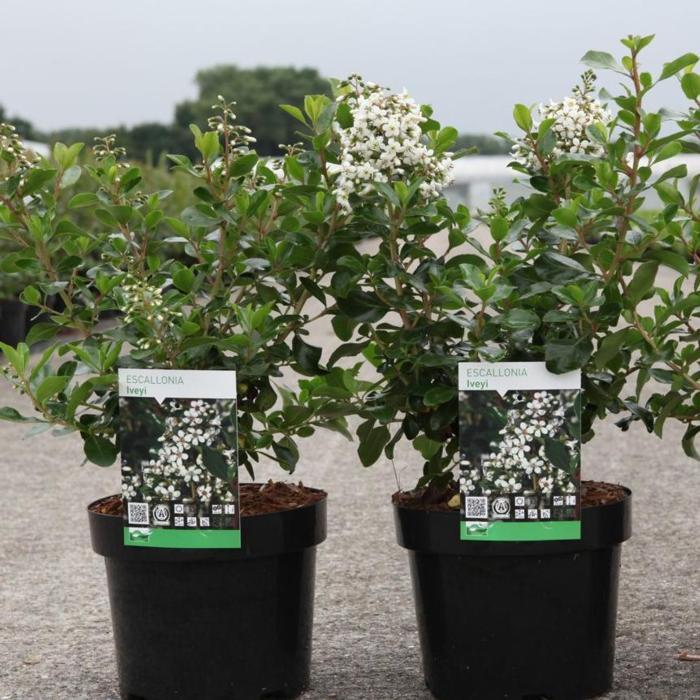 Escallonia 'Iveyi' plant