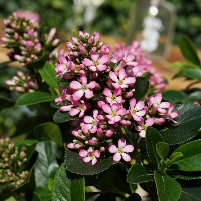 Escallonia laevis 'Pink Elle' plant