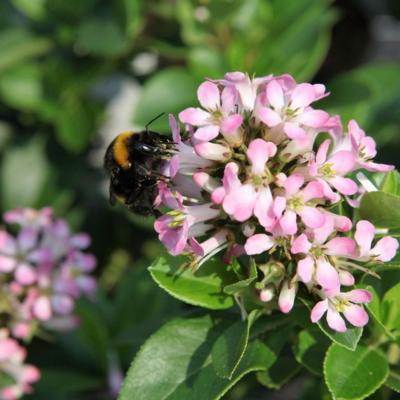 escallonia-laevis-pink-elle