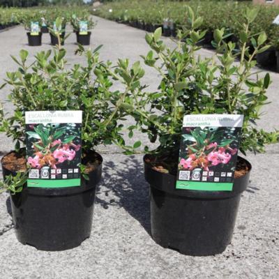 escallonia-rubra-macrantha