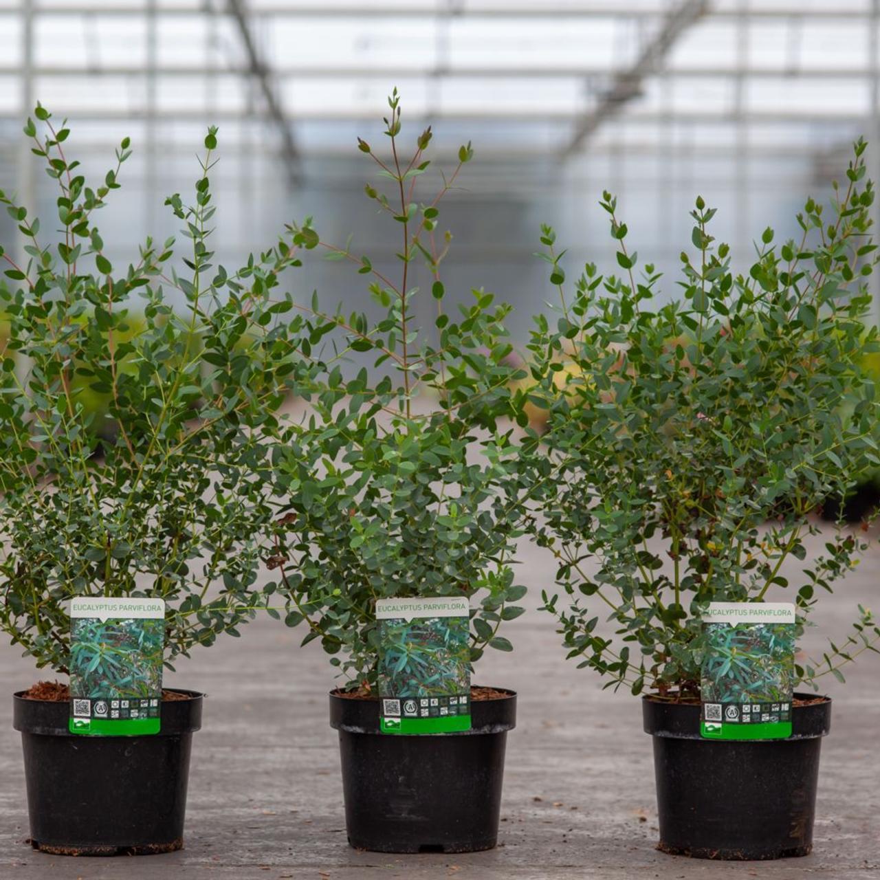 Eucalyptus parvifolia plant