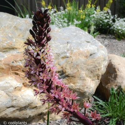 eucomis-comosa-sparkling-burgundy