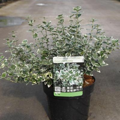 euonymus-fortunei-emerald-gaiety