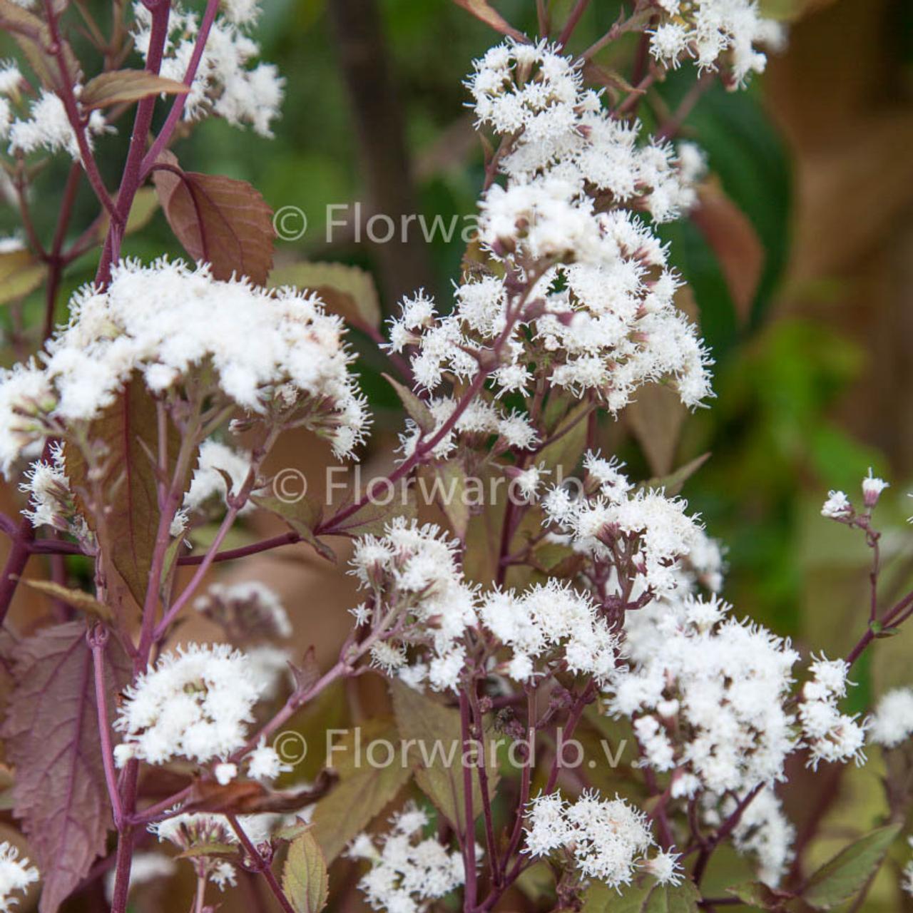 Eupatorium rugosum 'Chocolate' plant