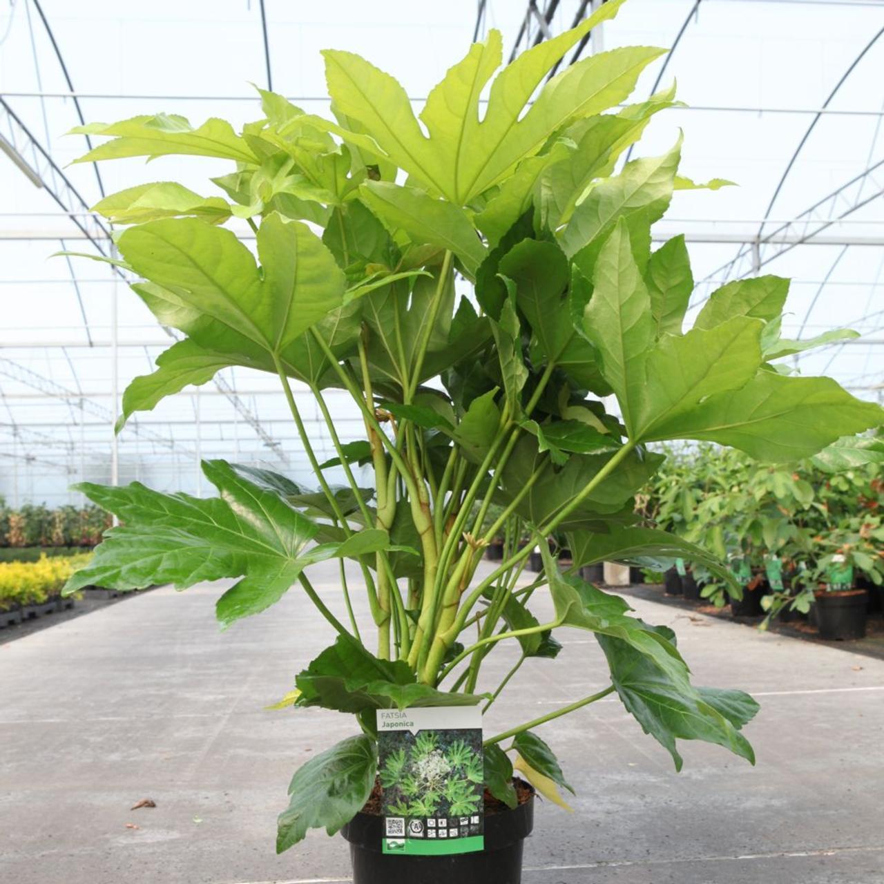 Fatsia japonica plant