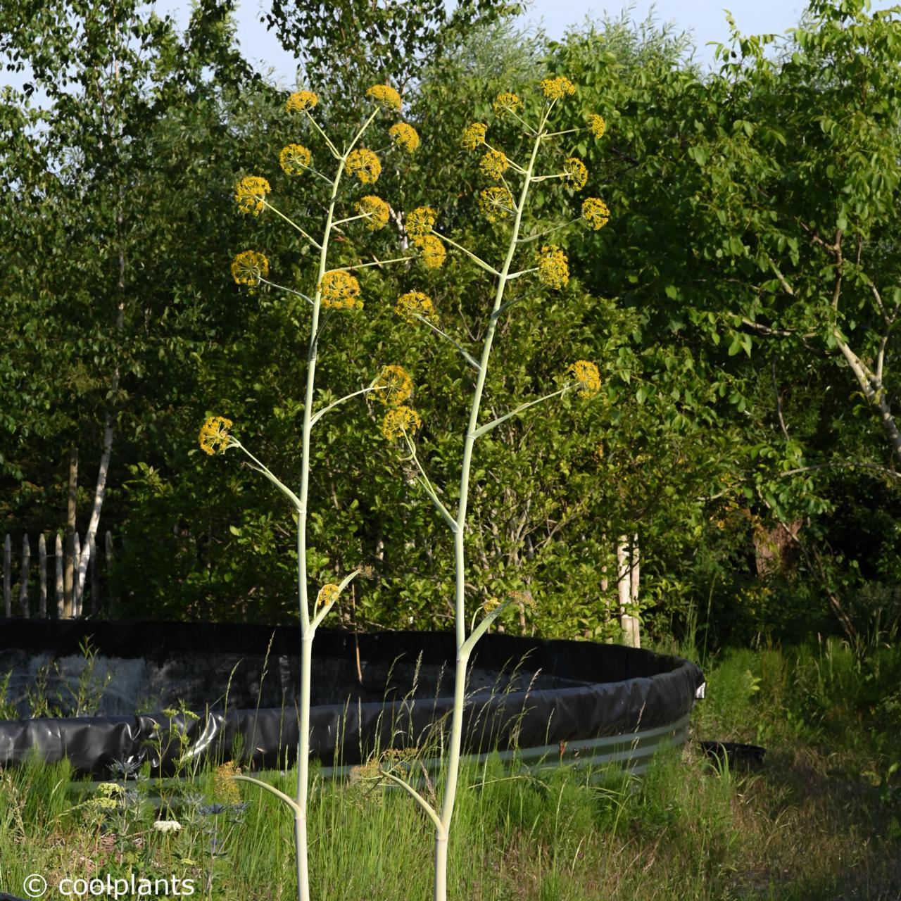 Ferula communis 'Gigantea' plant