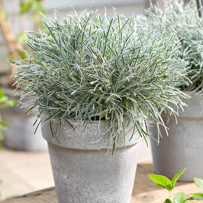 Ficinia truncata 'Ice Crystal' plant