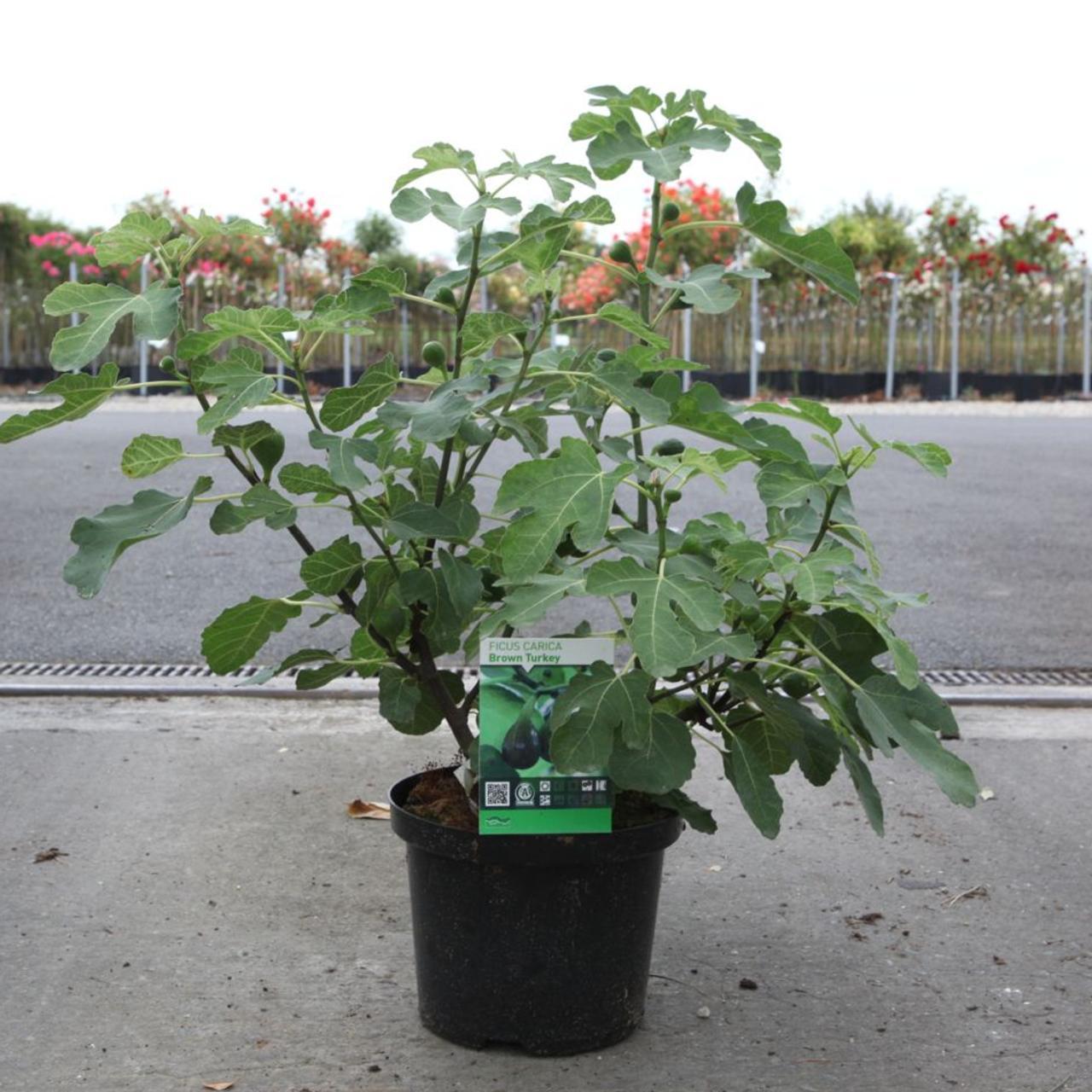 Ficus carica 'Brown Turkey' plant