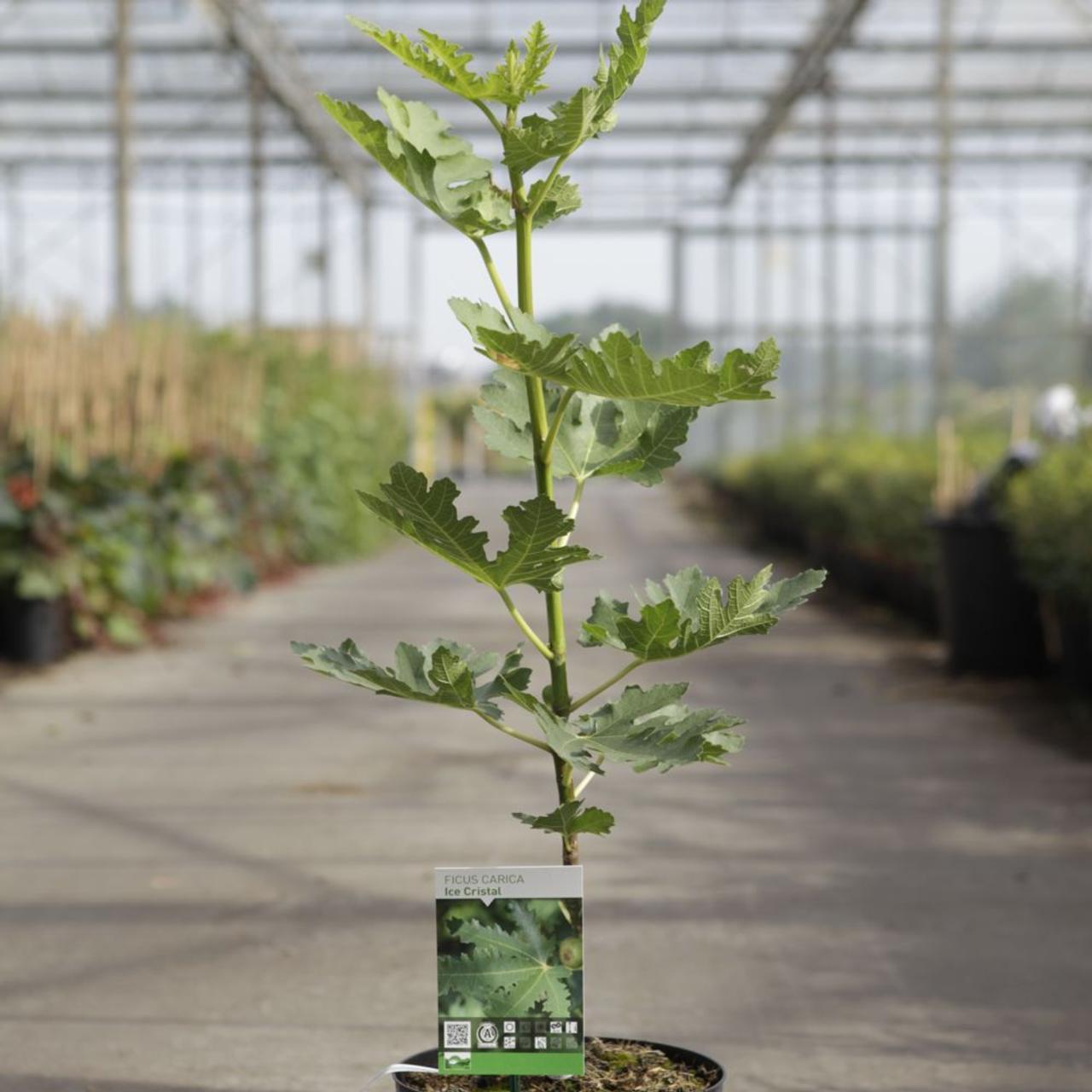 Ficus carica 'Ice Crystal' plant