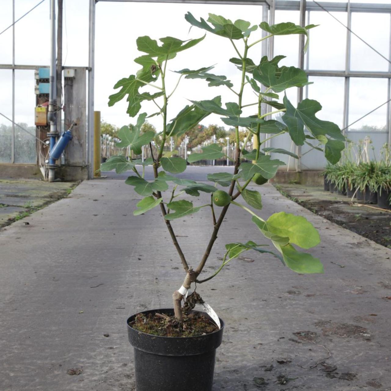 Ficus carica 'Jordan' plant